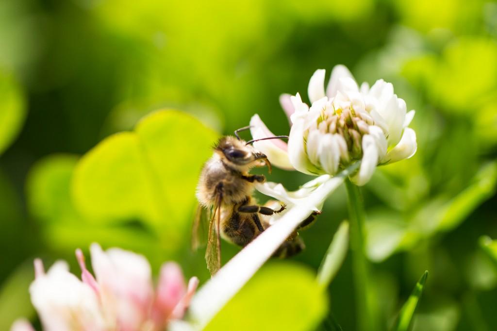 Biene beim Blumen bestäuben
