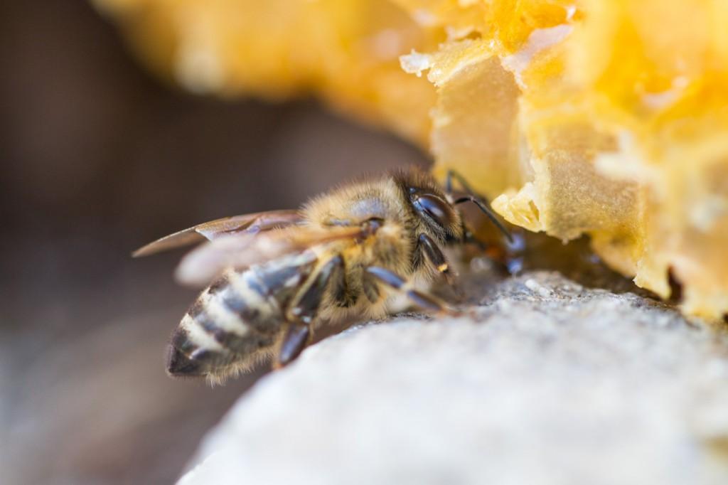 Biene bei einer Honigwabe